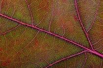 Autumn Oak Leaf Macro von maxal-tamor