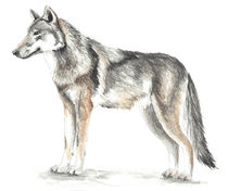 Wolf Aquarell by Nadine Conrad