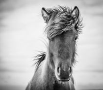 junges Islandpferd von Anne-Barbara Bernhard