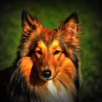 Collie Portrait 1 by kattobello