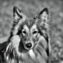 Collie in black and white von kattobello