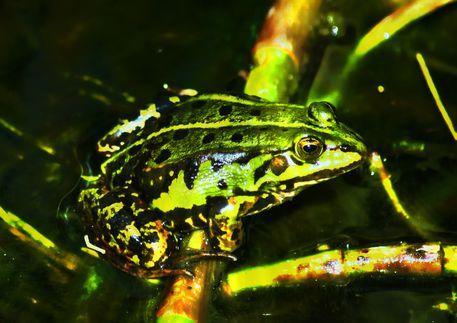Frosch-2