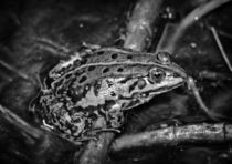 Frog in black and white von kattobello