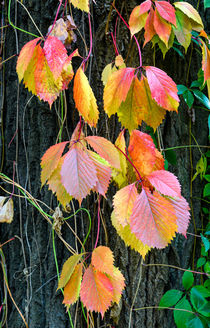 Virginia Creeper in Autumn by maxal-tamor