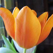 Tulpe, orange von Angelika  Schütgens