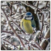 Bird in the ice - Blaumeise von Chris Berger