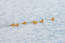 Ducklings on the River by maxal-tamor