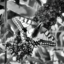Schwalbenschwanz auf Fliederblüte in schwarz und weiß von kattobello