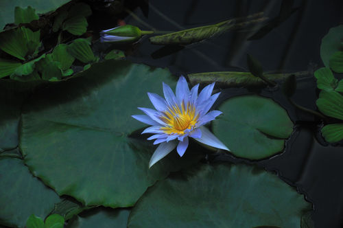 D-01458-e2-lotus-flower-and-leaves