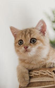 Britisch Kurzhaar Kitten / 90 by Heidi Bollich