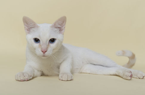 Dsc-4161-dot-thai-kitten10-11-16