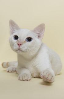 Thai Kitten / 9 by Heidi Bollich