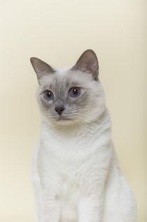 Thai Katze / 1 von Heidi Bollich