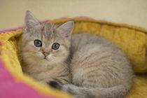 Britisch Kurzhaar Kitten / 88 by Heidi Bollich