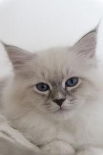 Neva Masquarade Kitten / 4 von Heidi Bollich