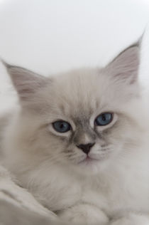 Neva Masquarade Kitten / 4 by Heidi Bollich