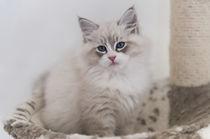 Neva Masquarade Kitten / 5 by Heidi Bollich
