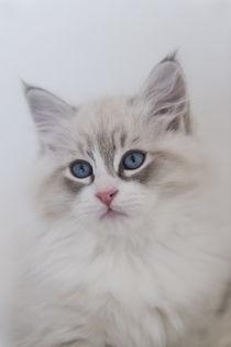 Neva Masquarade Kitten / 6 by Heidi Bollich