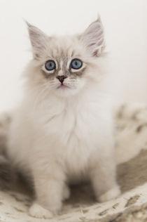 Neva Masquarade Kitten / 8 by Heidi Bollich