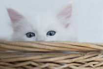 Sibirer Kitten / 2 von Heidi Bollich