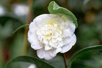 Weisse Kamelie - Camellia japonica L. 'Noblissima' Theaceae von Dieter  Meyer