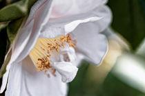 Weissrosa Kamelie - Camellia japonica L. 'D.W. Davis' von Dieter  Meyer