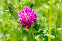 Clover Flower by maxal-tamor