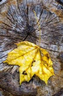 Maple Leaf in Autumn (Acer platanoides) von maxal-tamor