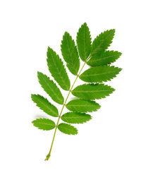 Rowan Tree Leaf by maxal-tamor