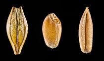 Macro of Wheat Barley and Rye von maxal-tamor