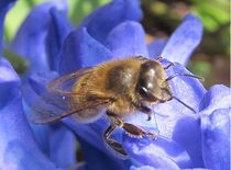 Biene auf blau by Angelika  Schütgens