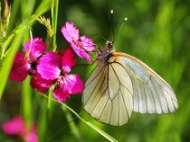 Butterfly von JOMA GARCIA I GISBERT