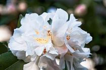 Weisse Kamelie - Camellia - Hybride 'Scentuous'  Theaceae von Dieter  Meyer