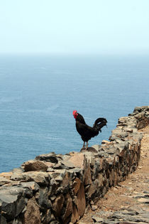 rooster by daindilove
