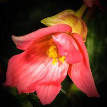 Tulpe von Rainer Schmitz