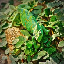 Jemenchamäleon 1 von kattobello