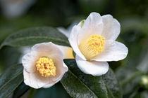 Weiße Kamelie - Camellia japonica L. 'Kazami-Guruma(Kanto)' von Dieter  Meyer