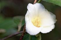 Weisse Kamelie - Camellia Nitidissima-Hybride 'Kicho' von Dieter  Meyer