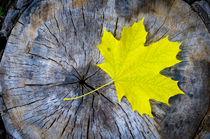 Maple Leaf in Autumn von maxal-tamor