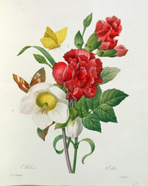 Christmas Rose, Helleborus niger and Red Carnation with Butterflies von Pierre Joseph Redoute
