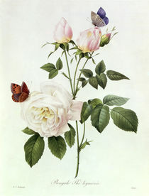 Rosa: Bengale the Hymenes, from 'Les Roses', 19th century von Pierre Joseph Redoute