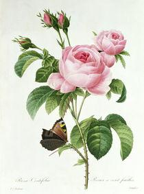 Rosa Centifolia von Pierre Joseph Redoute