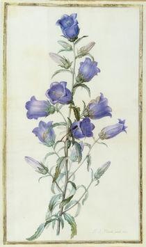 Campanula: Medium 1787 von Pierre Joseph Redoute