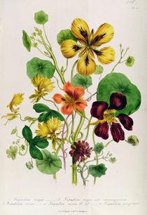 Nasturtium, plate 21 from 'The Ladies' Flower Garden' von Jane Loudon