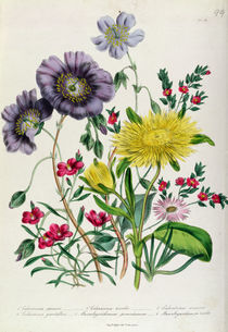 Calandrinia, plate 18 from 'The Ladies' Flower Garden' von Jane Loudon