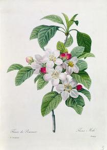 Apple Blossom, from 'Les Choix des Plus Belles Fleurs' von Pierre Joseph Redoute