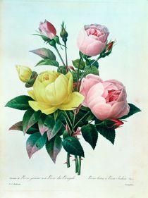 Rosa Lutea and Rosa Indica von Pierre Joseph Redoute