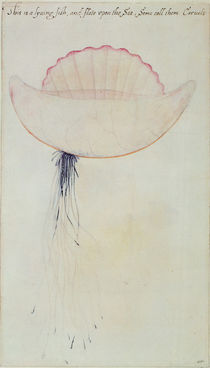 Portuguese Man-o'-War by John White