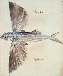Flying-Fish von John White