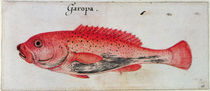 Grouper by John White